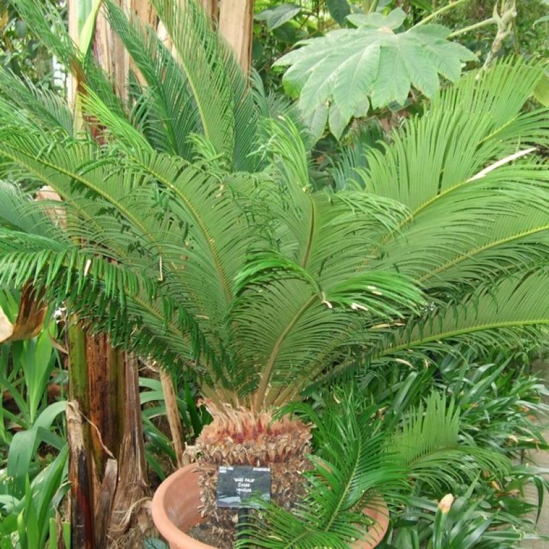 Комнатные растения Цикас (пальма саговая)