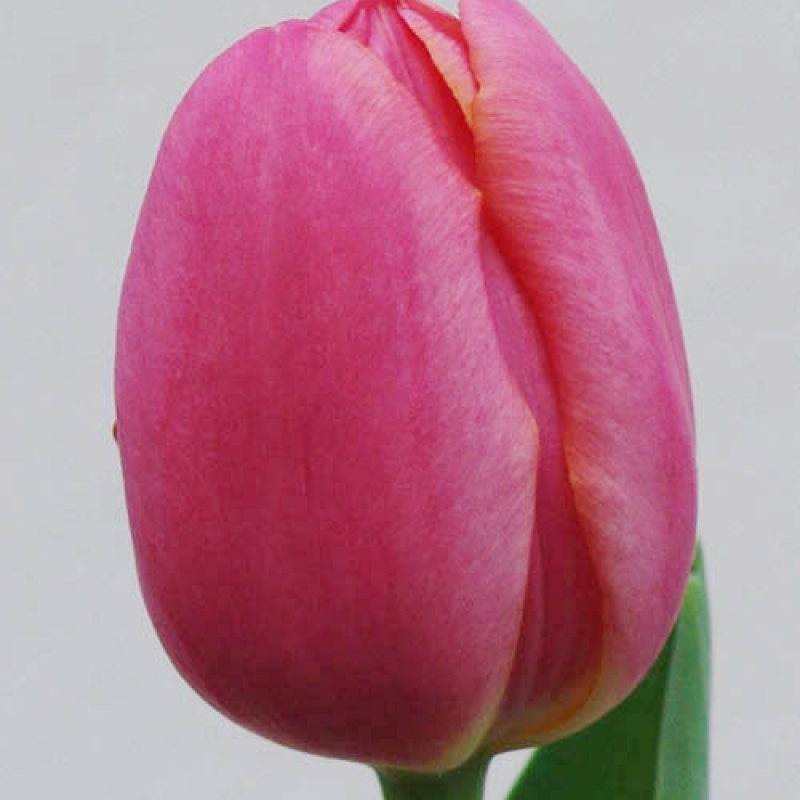Тюльпаны Зе Маунтиз