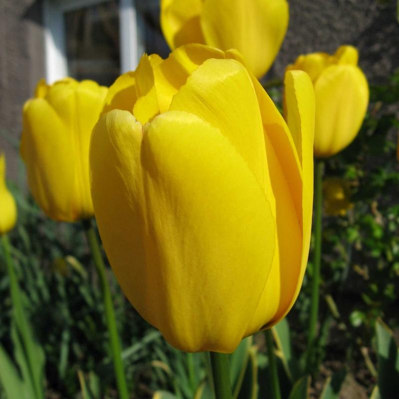 Тюльпаны Йеллоу Импресс