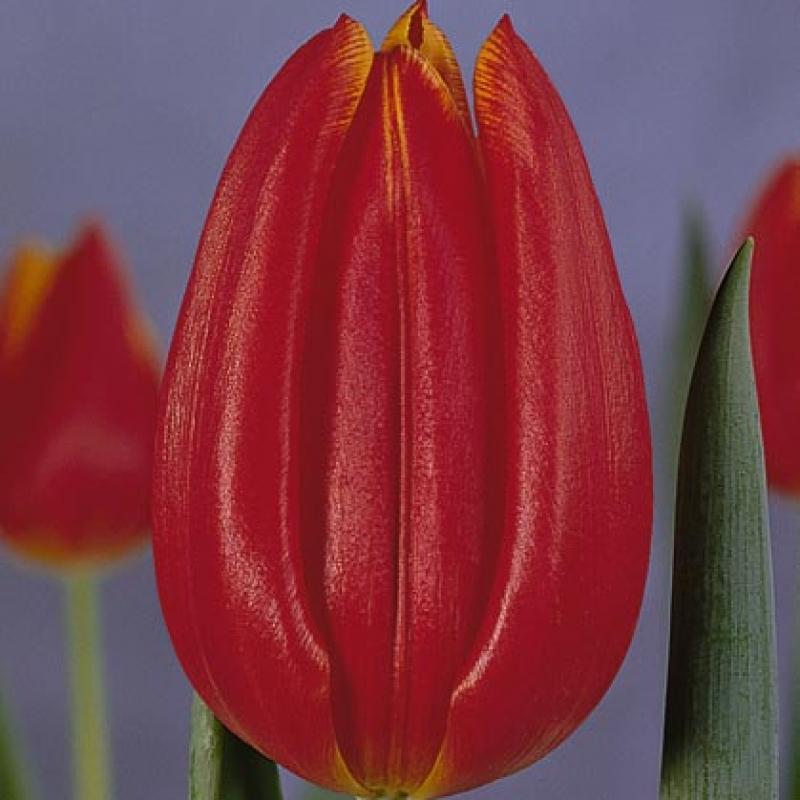 Тюльпаны Принц Карл Филипп