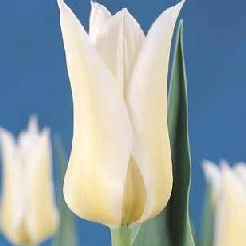 Тюльпаны Баллад Уайт
