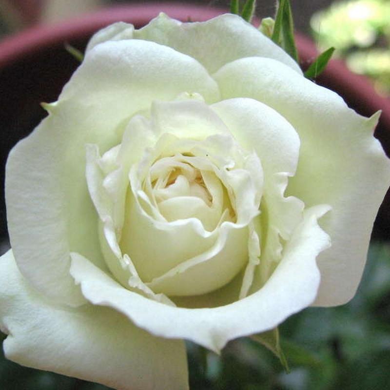 Розы Брайдал Меилландина
