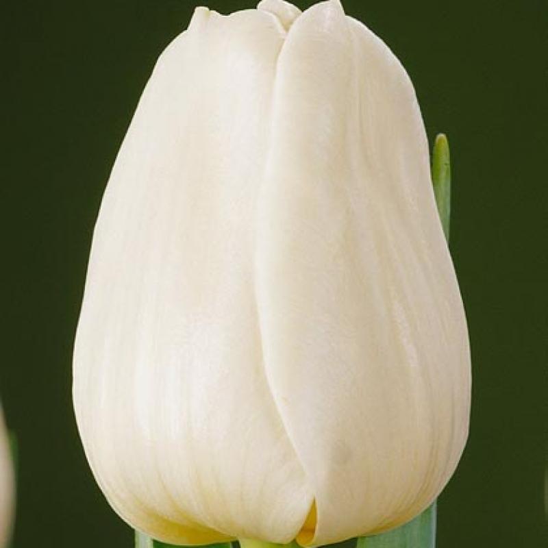 Тюльпаны Сансет Сурвайв