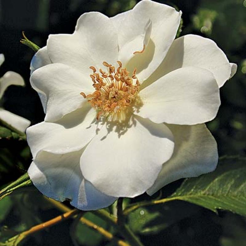 Розы Глетшерфи