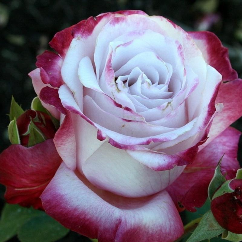Розы Парадайз Фаунд
