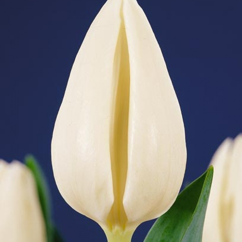 Тюльпаны Эскимо Чиф