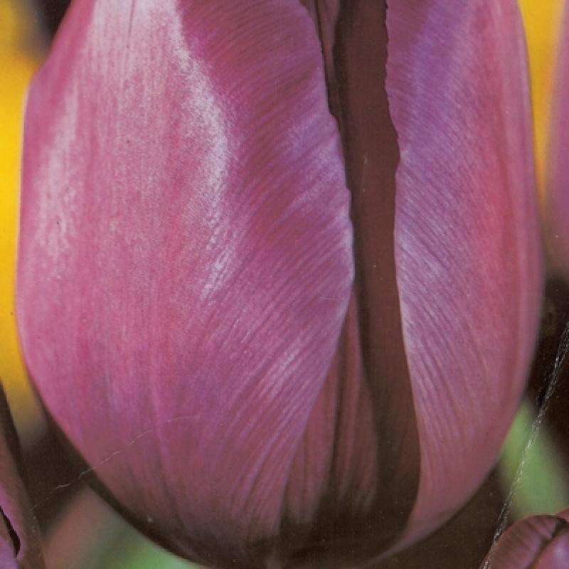 Тюльпаны Принц Чарльз