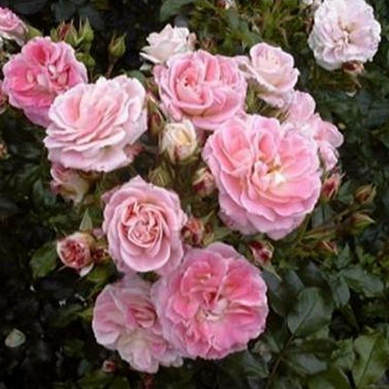 Розы Бадминтон Герл
