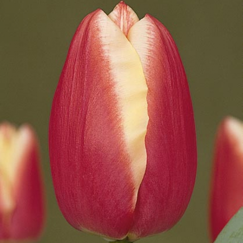 Тюльпаны Чифтэйн