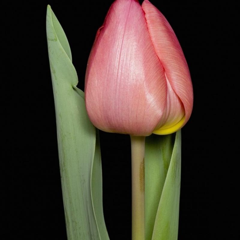 Тюльпаны Делос