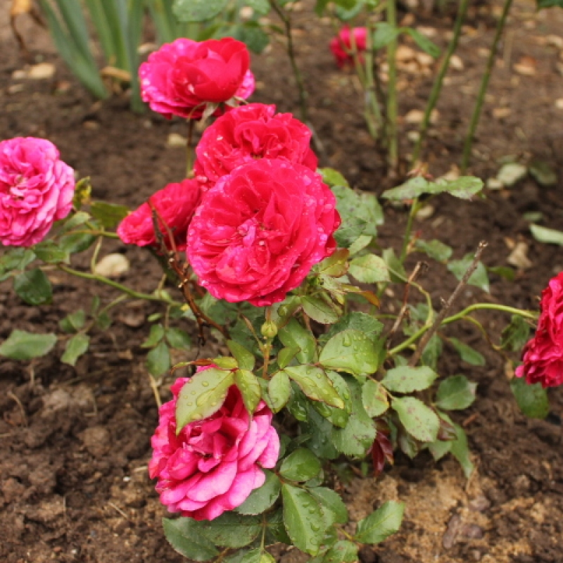 Розы Мона Лиза