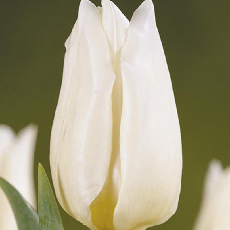 Тюльпаны Аграсс Вайт