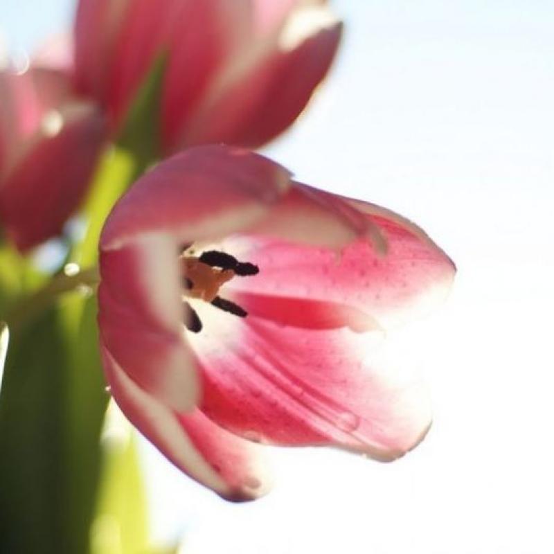 Тюльпаны Дэнс