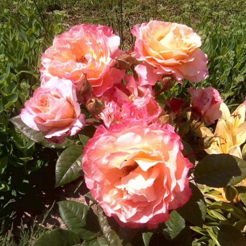 Роза августа-луиза энциклопедия роз