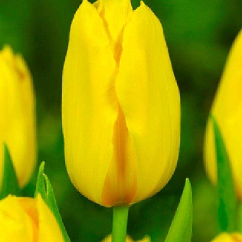 Тюльпаны Голден Тикун