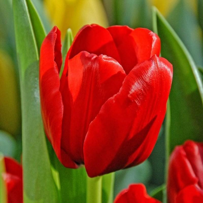 Тюльпаны Юник де Франс