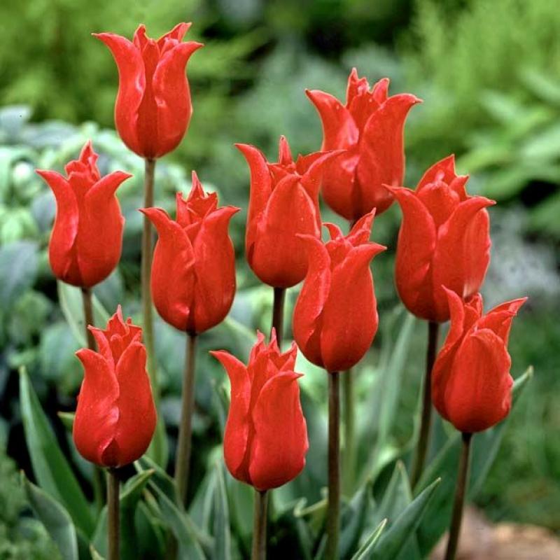 Тюльпаны Претти Вумэн