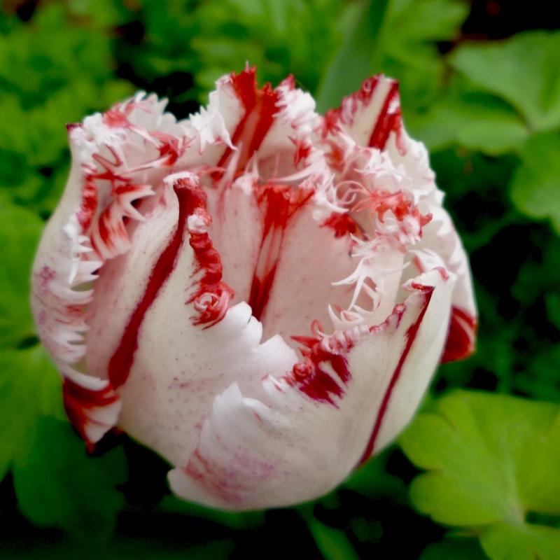 Тюльпаны Карусель