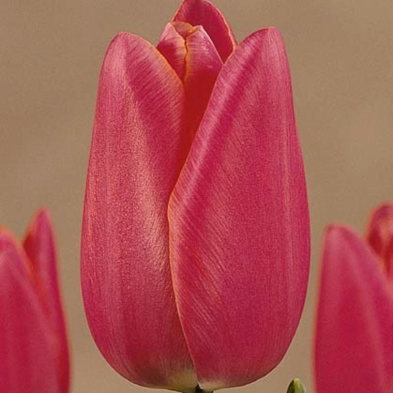 Тюльпаны Померол