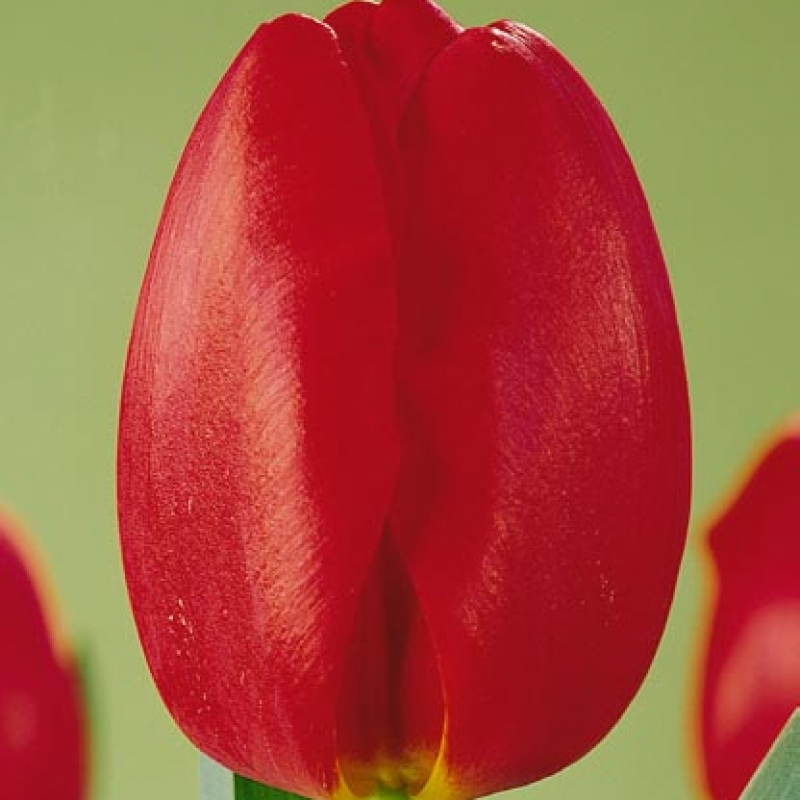 Тюльпаны Карерия
