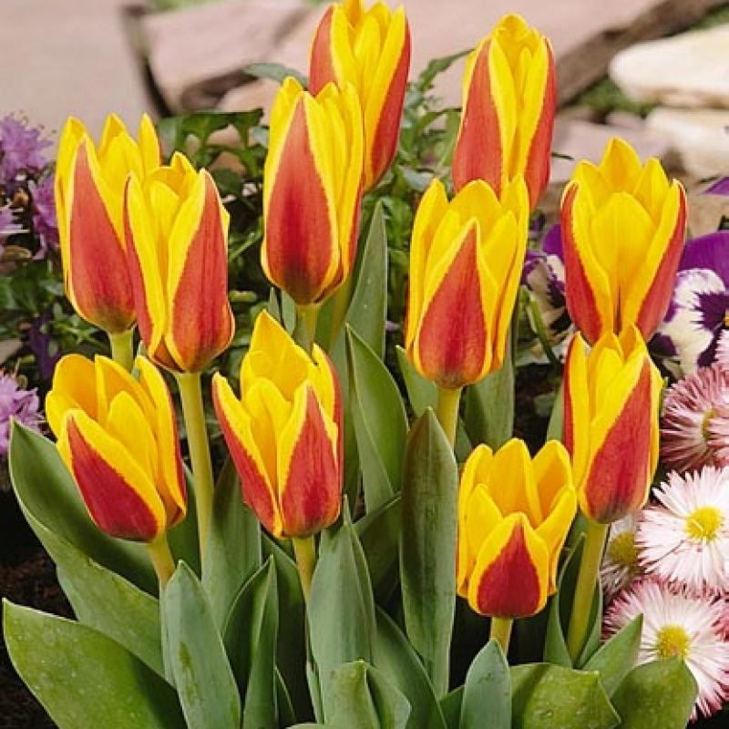 Тюльпаны Гоудстук