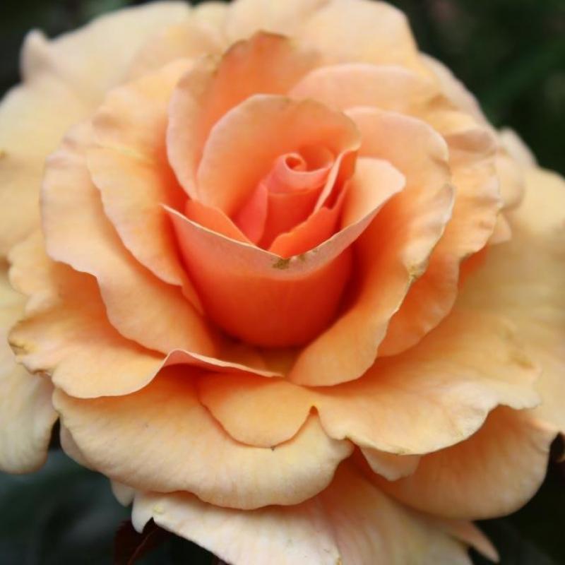 Розы Даймонд Юбилей