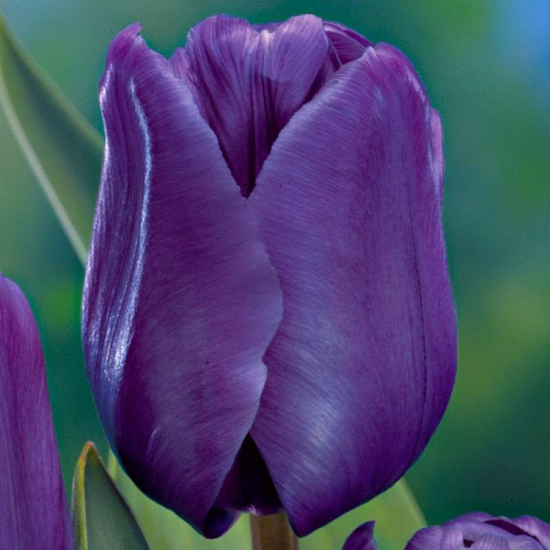 Тюльпаны Блю Эмейбл