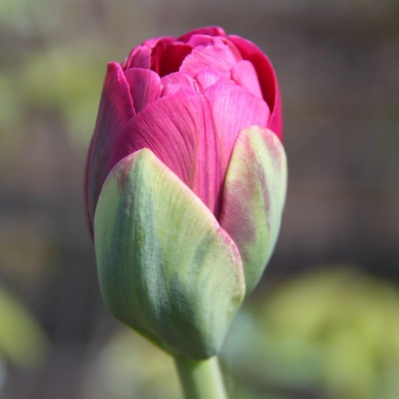 Тюльпаны Абигейл