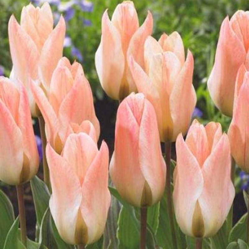Тюльпаны Литл Герл