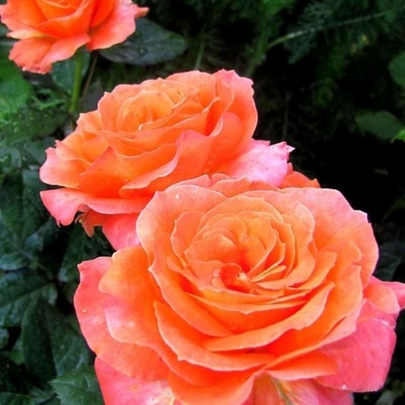 Розы Гренадин