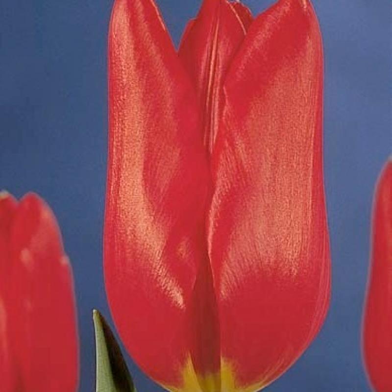 Тюльпаны Кортина
