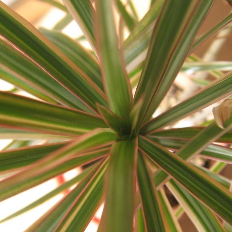 Комнатные растения Драцена