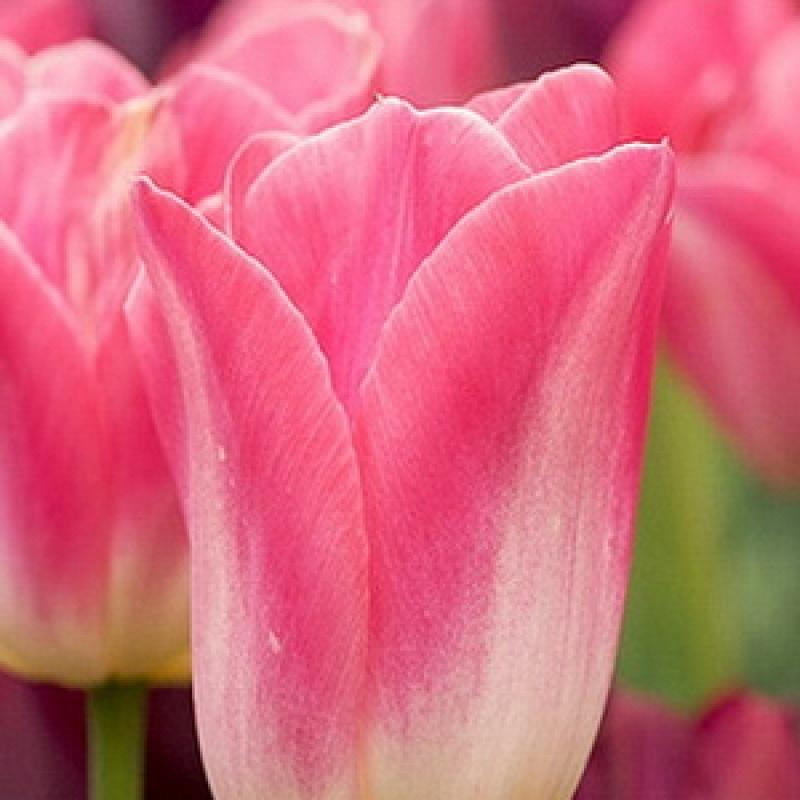 Тюльпаны Мистресс