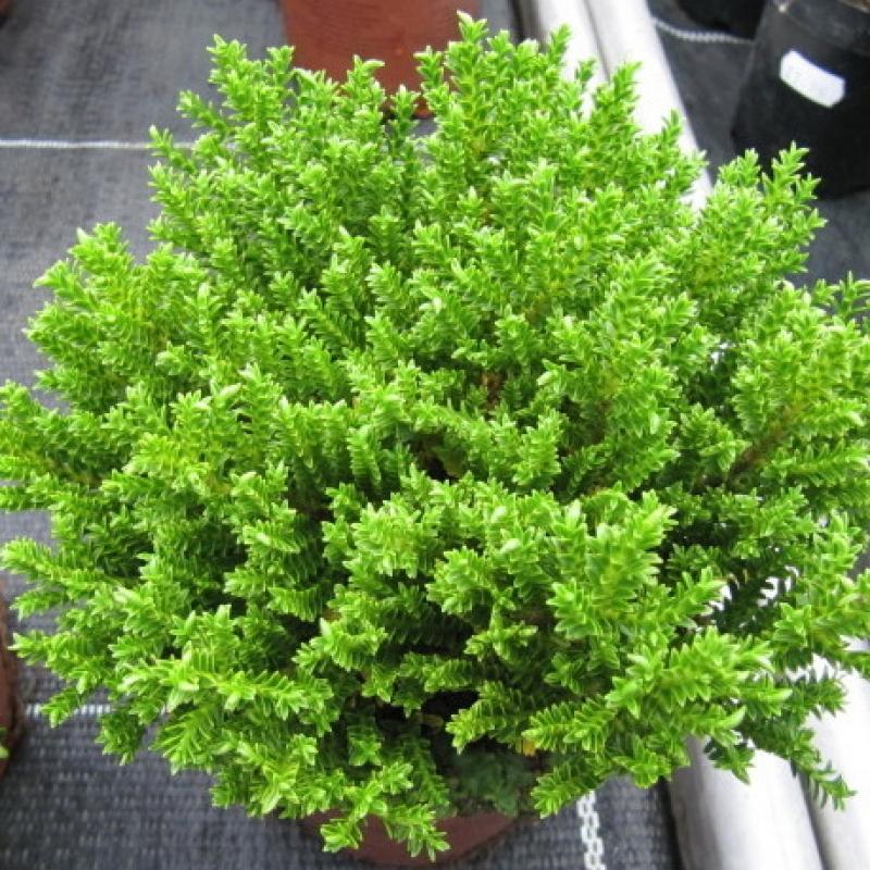 Комнатные растения Хебе