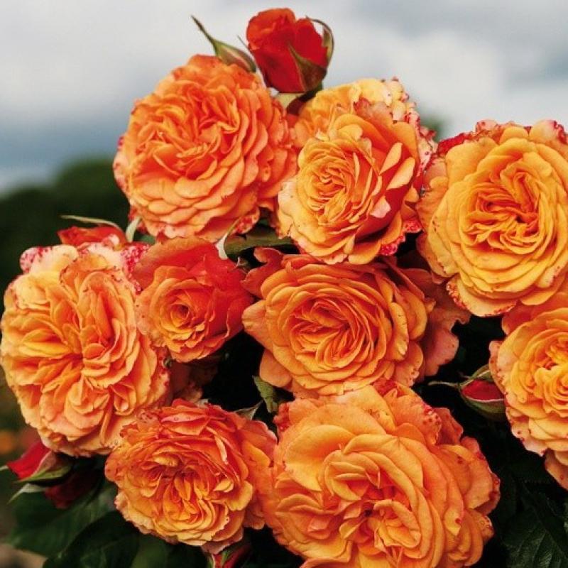Розы Ла Вилла Котта