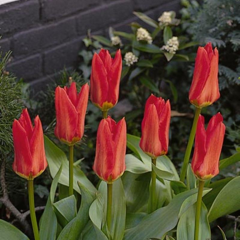 Тюльпаны Мадам Лефебер