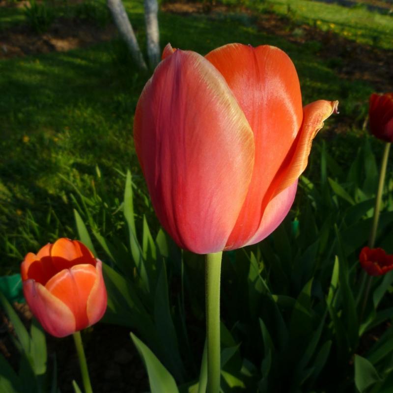 Тюльпаны Ад Рем