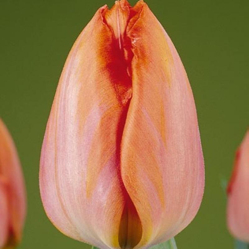 Тюльпаны Амазон
