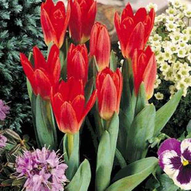 Тюльпаны Вилли Вонг