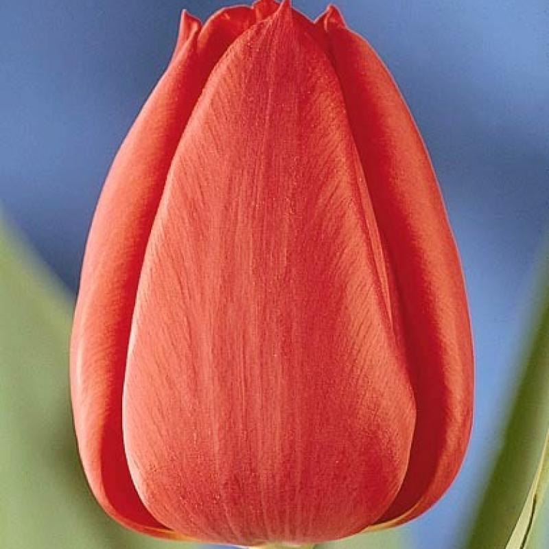 Тюльпаны Перпетуа
