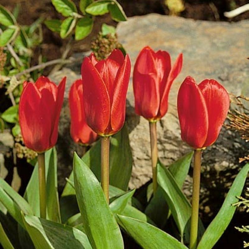Тюльпаны Силвано