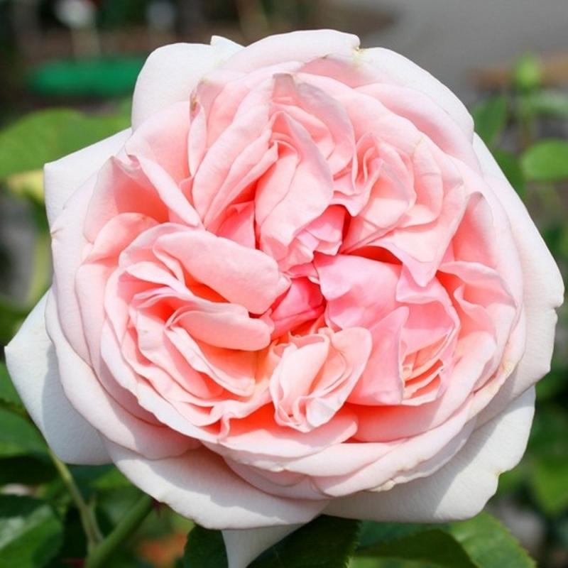 Розы Афродита
