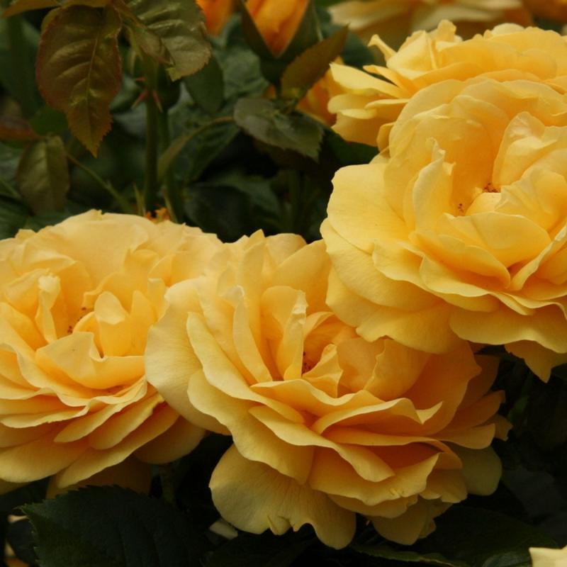 Розы Джулия Чайлд