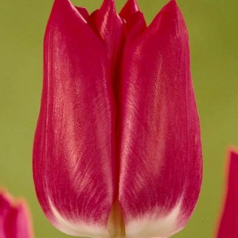 Тюльпаны Аматерас