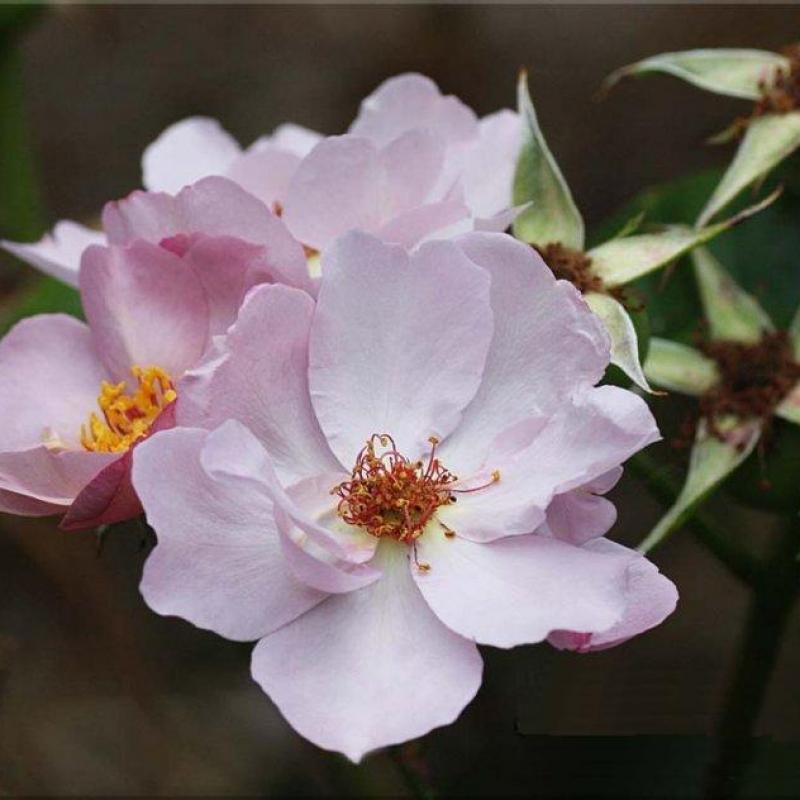Розы Лилак Шарм