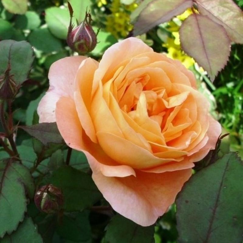 Розы Леди Эмма Хамилтон
