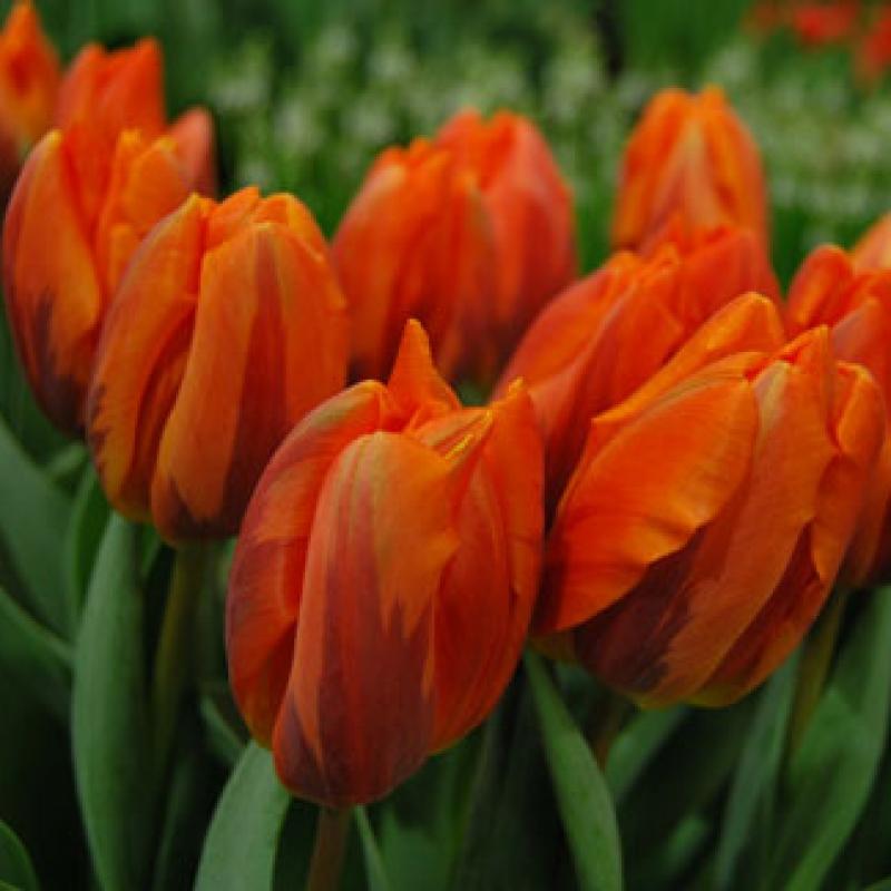 Тюльпаны Эрмитаж