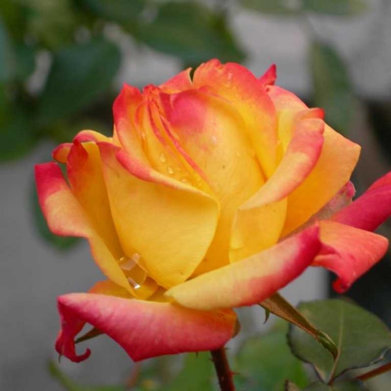 Розы Пиккадили