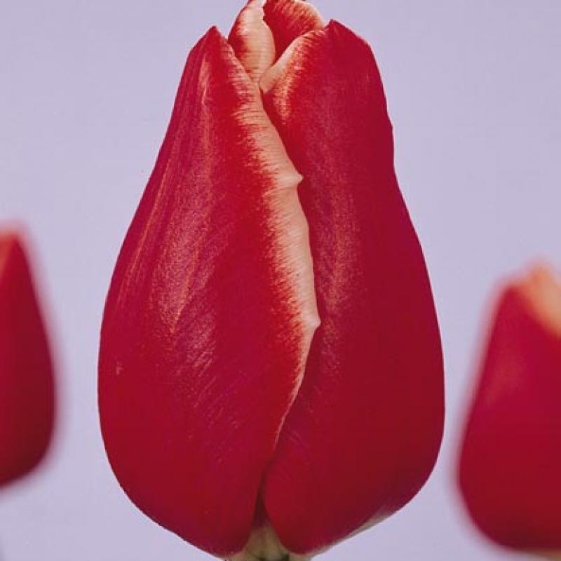 Тюльпаны Блоссом Тайм