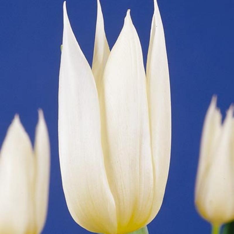 Тюльпаны Уайт Кристмас
